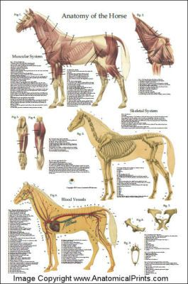 Horse anatomy chart / For unique, hands-on activity ideas for ALL CREATURES GREAT AND SMALL by James Herriot, visit  http://www.litwitsworkshops.com/free-resources/all-creatures-great-and-small/ LitWits Kits make literature real, relevant and fun for kids – so they want to read more!