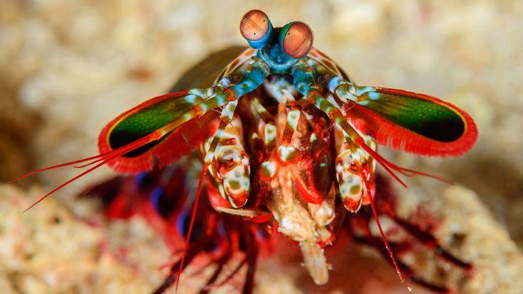 kids.nationalgeographic.com content dam kids photos articles Other%20Explore%20Photos R-Z Wacky%20Weekend Animal%20Eyes ww-animal-eyes-mantis-shrimp.jpg