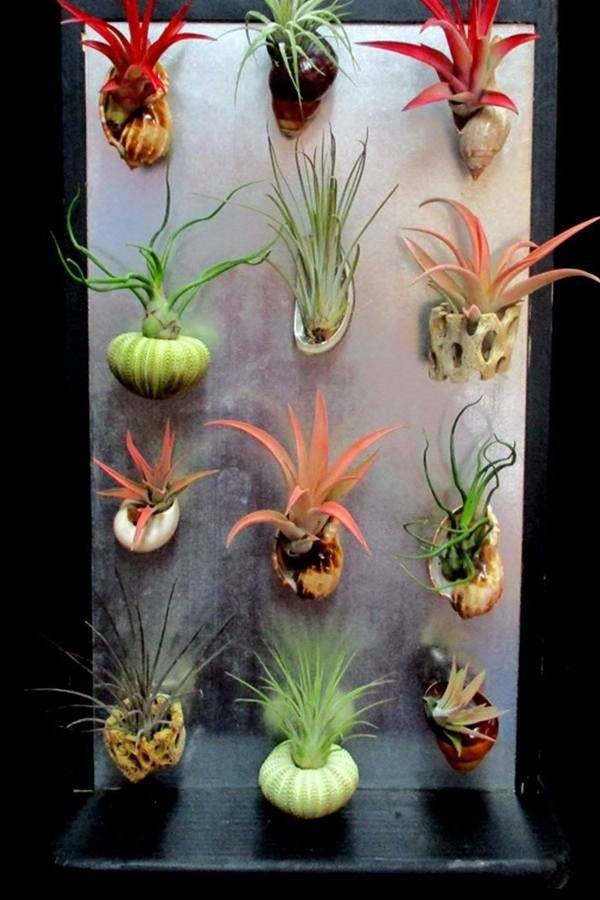 Please Note We Are Unable To Ship Live Plants Ca Hi Ak Az Most Of Our Tillandsia Color Is Natural However Some Varieties May Be Enhanced With