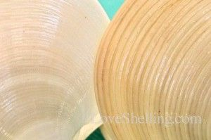 The Elegant Dosina and the Disk Dosina... Shells from Sanibel Island given to our school by Ms Judy. Picture: different grooves in 2 types of dosinias. Run your fingernail over the ridges, the Elagant is more bumpy :)