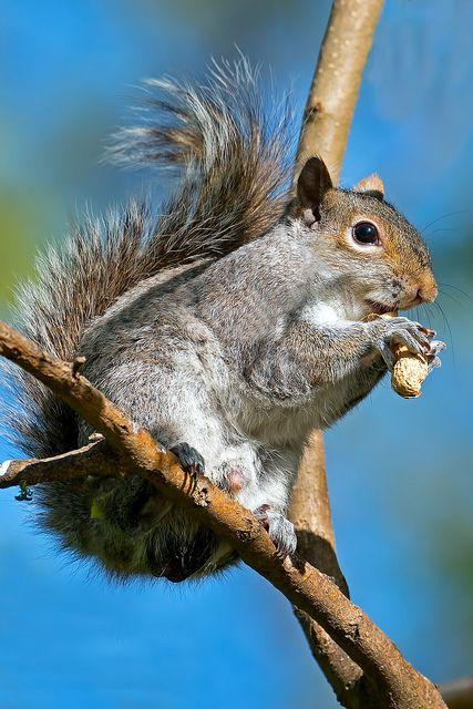 Eastern Gray Squirrel by Brian E Kushner, via Flickr
