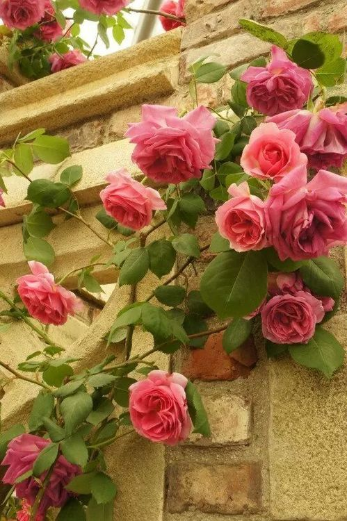 Beautiful climbing Rose graces an old stone wall!