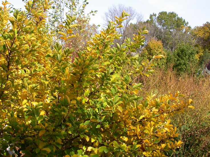 17 best images about top 10 native plants for fall in nw arkansas on pinterest