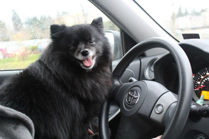 Here i come! my black Pomeranian