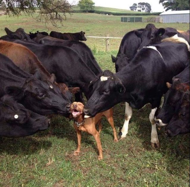 My sister lives on a farm, and her dog stepped into the cow field. Thought that the cows would be scared of the dog.They accepted him as one of their own.