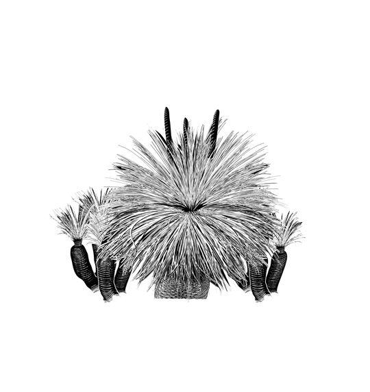 Australian Grass Tree - illustrated by Glenn Lumsden