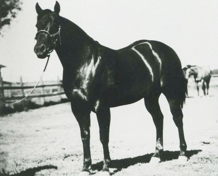 "Poco Bueno. The English translation reads, ""pretty good."" It is a wishy-washy complement for one of the most influential sires of the 1940s, '50s and '60s. Poco Bueno was inducted into the Hall of Fame in 1990. Learn more about the AQHA Hall of Fame inductees at http://aqha.com/Foundation/Museum/Hall-of-Fame/Hall-of-Fame-Inductees.aspx ."