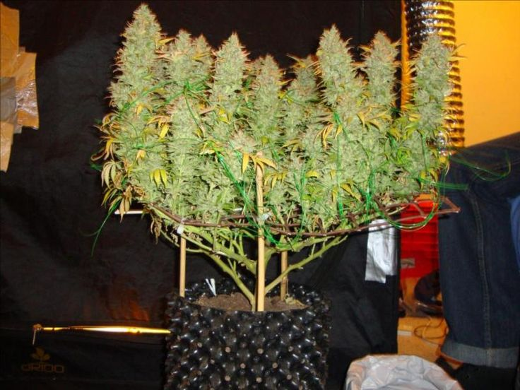 47 best SCroG   Training   Young Plants images on Pinterest   Marijuana  plants  Cannabis growing and Medical cannabis47 best SCroG   Training   Young Plants images on Pinterest  . Aerogarden Weed Harvest. Home Design Ideas