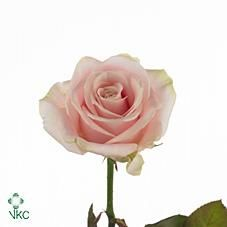 Image result for sweet avalanche rose