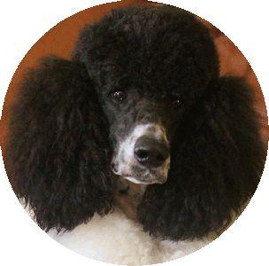 Blue & Café Au Lait Standard Poodle Puppies and Poodles For Sale | Family Affair Standards