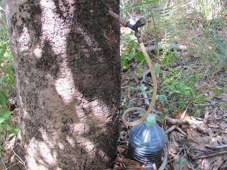 """Seiva do Jatobá do Jardim Floresta Nova Flor       """"O nome jatobá vem da língua tupi e significa fruto de casca dura    A árvore d..."""