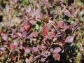 Maryland native wild blueberry plants for sale
