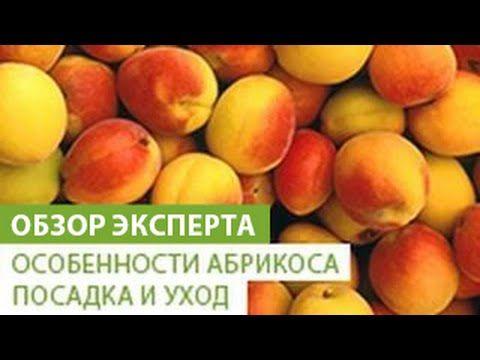 Особенности абрикоса. Посадка и уход за абрикосом - YouTube