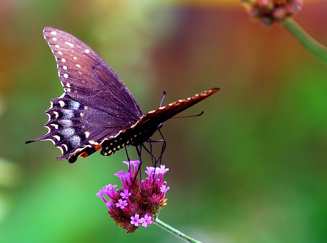 Some of the many beauties I miss from #Hawaii  Butterfly_on_Flower by thorntm @ Flickr - Photo Sharing!