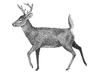 Valkohäntäkauris, Odocoileus virginianus - Nisäkkäät - LuontoPortti