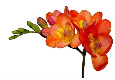 Freesia: Aside from a lovely and unique appearance, the freesia flower is also well loved for its enchanting scent.  Available in many colors! Grown from a corm.
