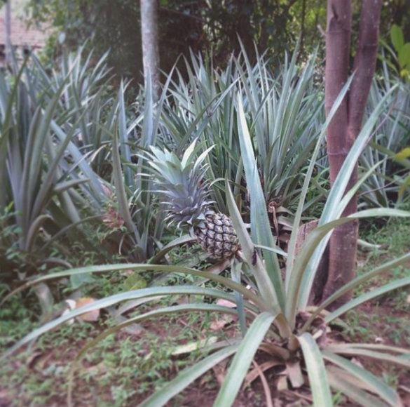 Best 25 grow pineapple top ideas on pinterest pineapple for Plant pineapple top