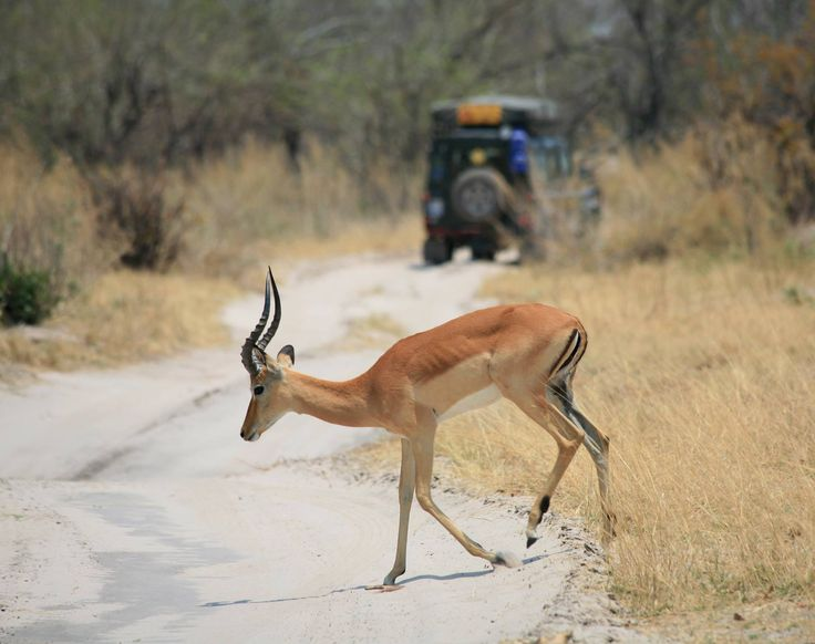 Springbok Kruger National Park