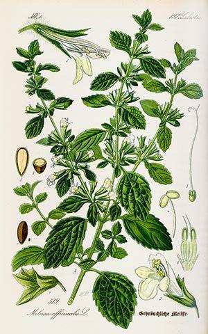 Mélisse (Melisse officinalis)| Remèdes de Grand-Mère