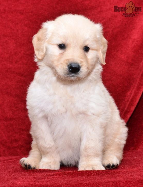 Bruno - Golden Retriever Puppy for Sale in Fredericksburg