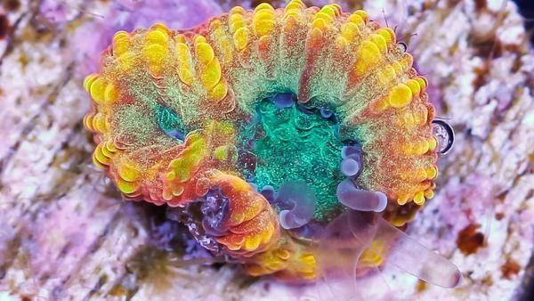 Vivid S Blue Flame Favia Blue Flames Corals For Sale Vivid