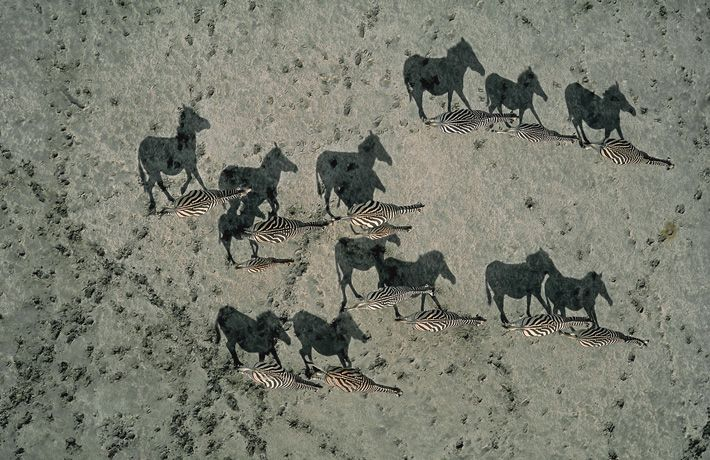 Richard du Toit  GRAND PRIZE  Burchell's Zebras  Makgadikgadi Pans, Kalahari Desert, Botswana. Photo by Richard du Toit. What you see most is their shadows - you have to look close to see the Zebras.