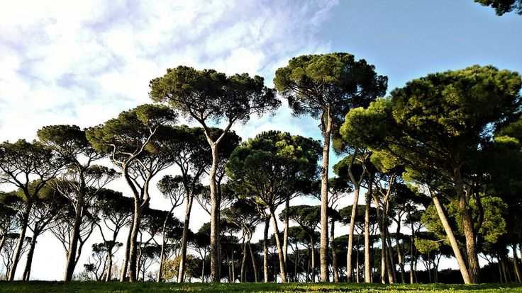 Natural urban park of Pineto takes the name from the Sacchetti Pine forest. Pietro da Cortona built on the 17th cent a villa for the Sacchetti family, now destroyed. There is also the so called hell valley, once characterized by the heavy smoke of the factories. Many mediterranean trees such as the umbrella pine trees and the cork trees. Among the animals commons are the moscardino, topo selvatico e la biscia dal collare. Forte Braschi and Forte trionfale http://romanatura.roma.it/