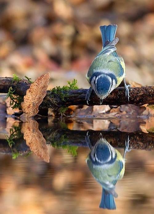 ✿ڿڰۣ Stunning reflection   #bird #nature #photography