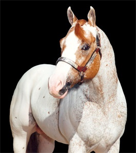 Lads Straw Man: Horses Chapped, Appaloosa Horses, Horses Horses, Horses 3, B Horses, Horses Horses Horses, Horses Appaloosa, Horses Glorious, Country Horses