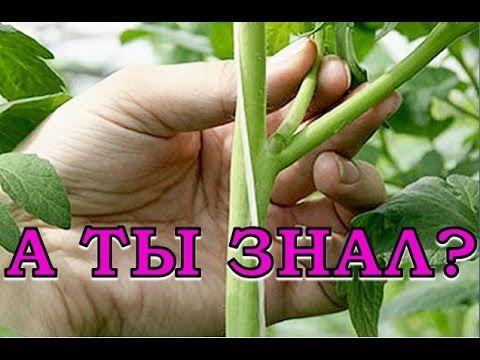 Как правильно посадить огурцы, чтобы получить большой урожай - YouTube