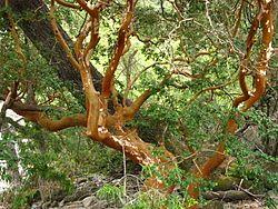 Luma apiculata - arrayan rojo.jpg