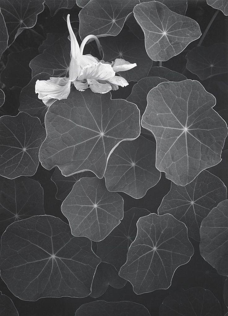 Ansel Adams, Nasturtiums, 1957                                                                                                                                                     More