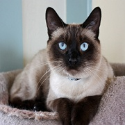 The 10 Most Popular Cat Breeds | Catster