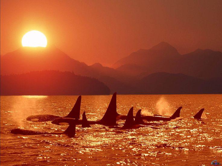 Diese Killerwale genießen den Sonnenuntergang, während sie sich vor der Nacht in den flüchtigen Momenten des Sonnenlichts aalen.