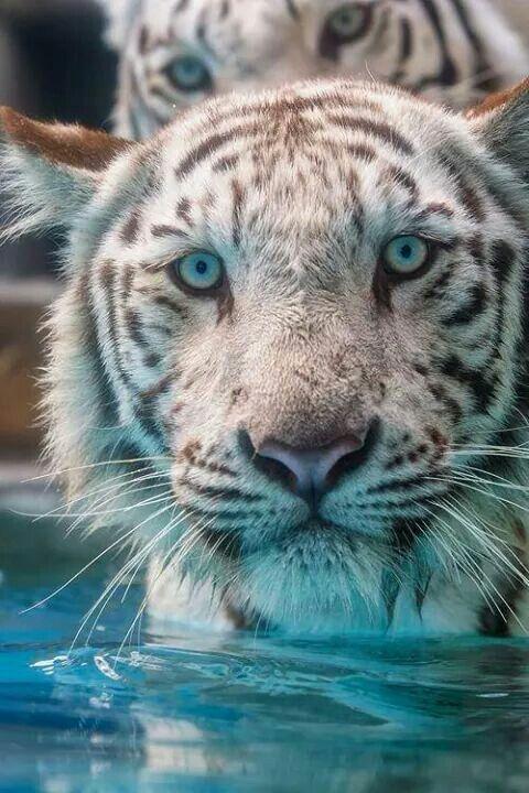 Stunning white Tigers!