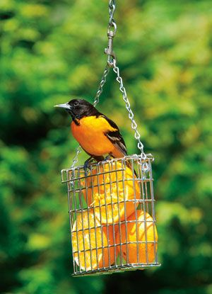 Don't forget to put out oranges for the orioles!  And I am finding out the woodpeckers like them too.
