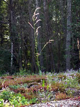 Niittysuolaheinä, Rumex acetosa - Kukkakasvit - LuontoPortti
