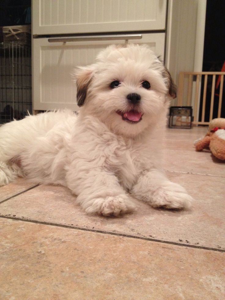 shih tzu puppies rescued 113 best teddy bear zuchon puppies dogs bichon shih 1712