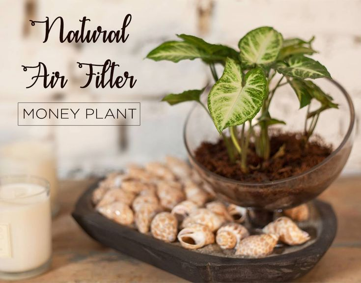 Easy to grow Money Plant is a powerful air purifying plant that will clean the – Money Plants