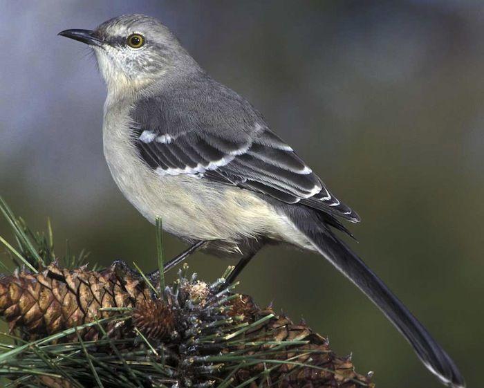 Northern Mockingbird © James M. Wedge/VIREO