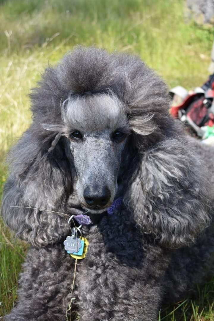 Pin By Randi Tarillion On Standard Poodles Poodle Poodle Puppy Poodle Dog