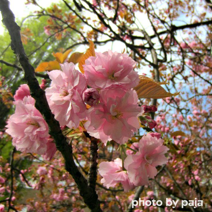 Cherry Blossom in Praha, Vršovice, more on https://www.facebook.com/ukazkovydomov.cz
