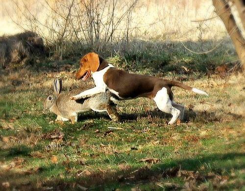 Beagle hunting - photo#47