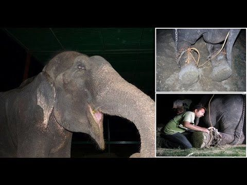 50 years a Slave : Raju the Elephant cried tears of joy after being freed from suffering - YouTube