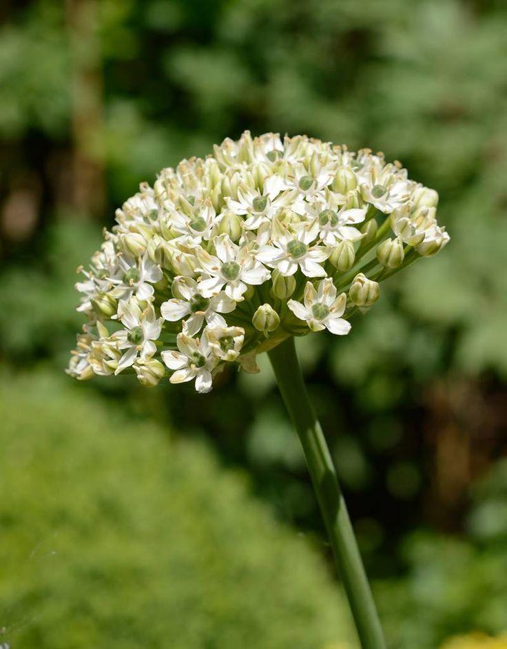 Allium nigrum (Zwarte look) kopen - De Warande - Sterkebollen.nl