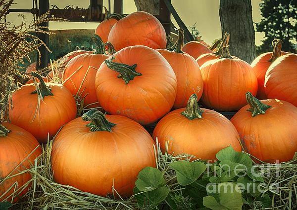 pumpkin,pumpkins,plant,squash,orange,winter squash.green,farm,nature,stem,vegetable,vegetables,halloween,thanksgiving,country,rustic,urban,pumpkin patch,pumpkin harvest,harvest,fall