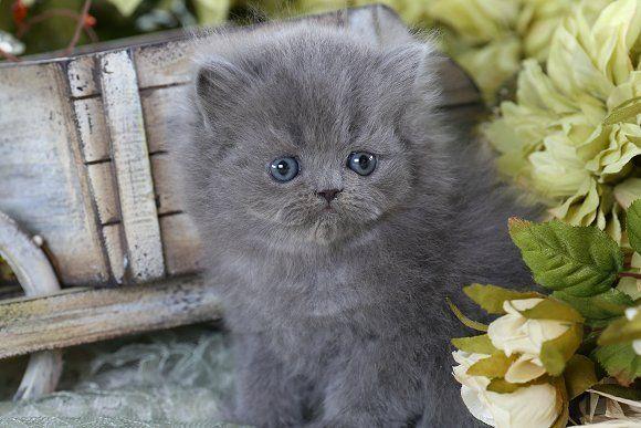 Blue Persian Kitten Persiancatgrey Persiancatblue Grey Kitten Persian Kittens Cute Cats And Dogs