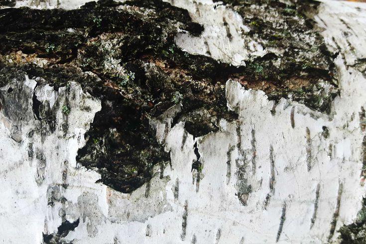#Birke #Rinde (Betula pendula) - Die Strukturen von Baumrinden fallen besonders im Winter auf. #garden #tree  #bark  #birch #Garten #Baum #Rinde