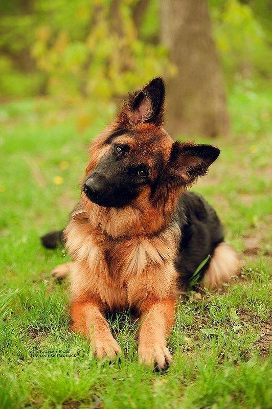 Female german shepherd and travel buddy named Roxy