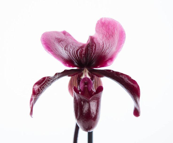 В НАЛИЧИИ Орхидеи Пафиопедилум - от греческих Paphia — одно из имен богини Венеры, (pedilon — «туфелька», «башмачок»). Мешковидная губа орхидеи напоминает туфельку, поэтому в разных странах пафиопедилумы называют «Венерины башмачки», «Башмачки», «Цветки-мокасины».  #цветыотмачелюка #цветыидекорвцентремосквы #мачелюк #мачелюкам9лет #цветыоптом #цветочнаябаза #вседляфлористов #вседлядекора #flowersbymacheliuk #florist #floristic #decor #цветы #декор #горшечныерастения